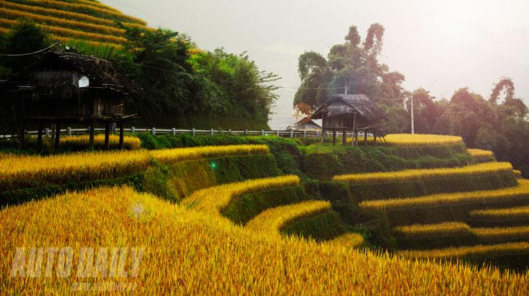Mù Cang Chải mùa vàng